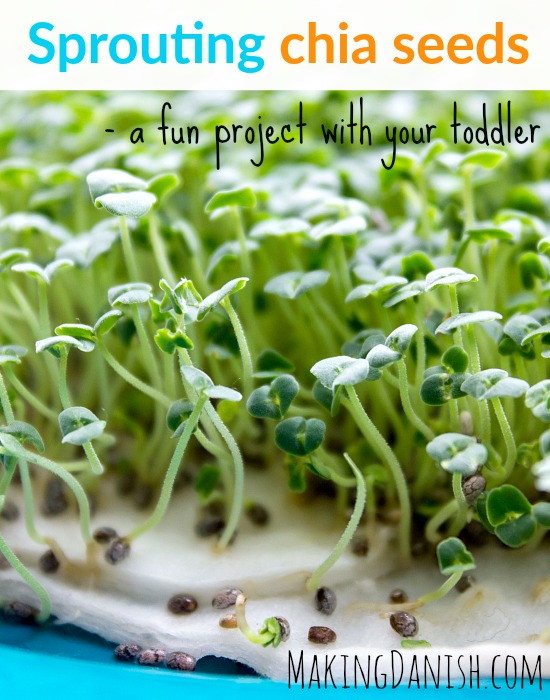 sprouting chia seeds project with toddler
