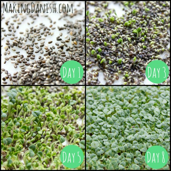 grow chart chia seeds into microgreens
